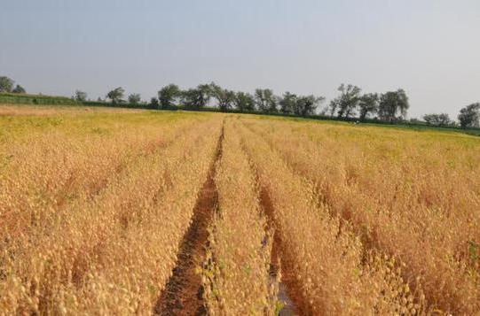 新疆農業專家今年成功選育新品種鷹嘴豆——新鷹3號