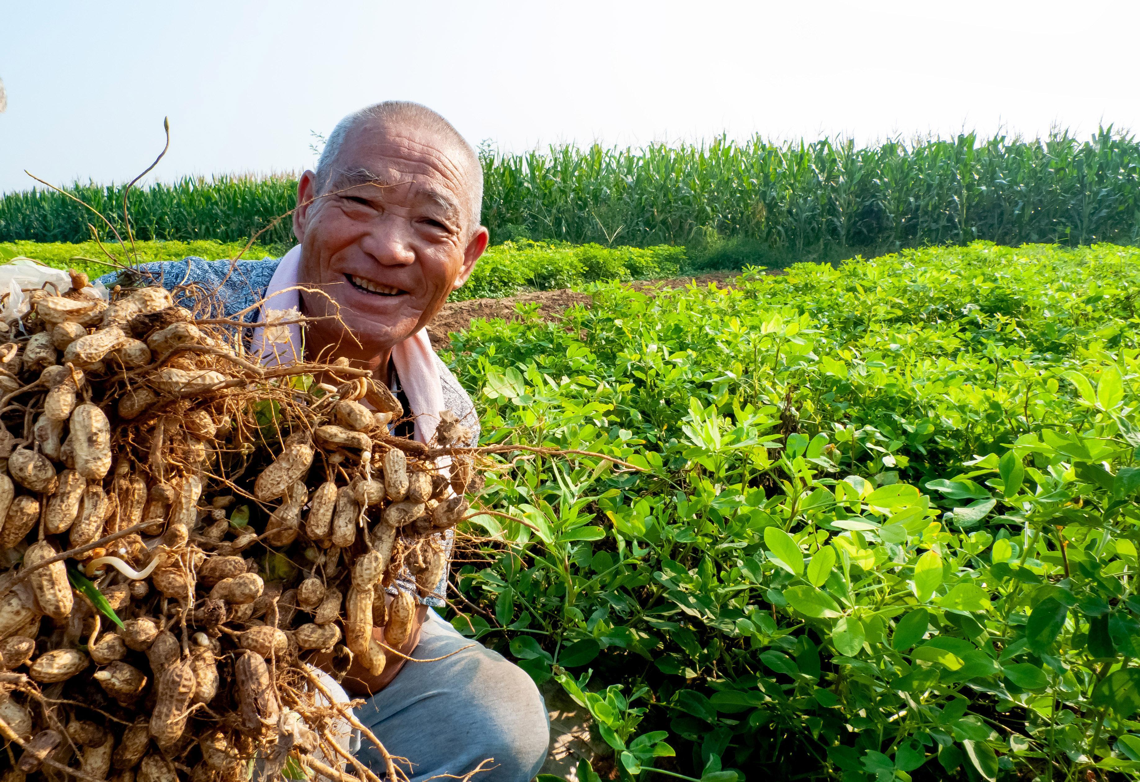 覆膜花生喜获丰收 农户喜笑颜开